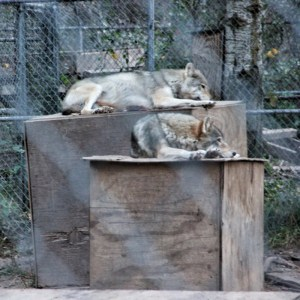 Alpha Wolves on Top of boxes, another wolf pack