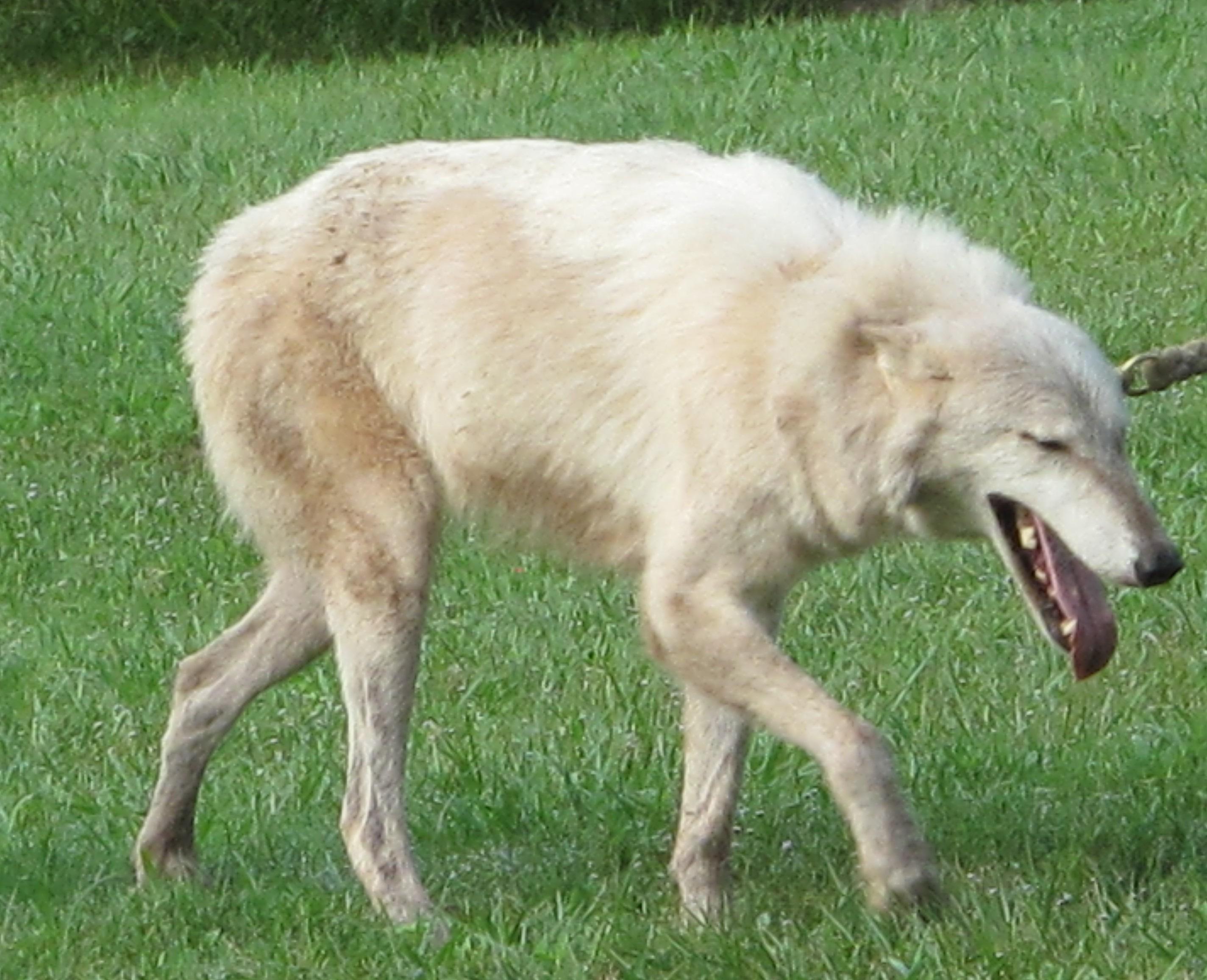 Arctic Wolf on a Walk