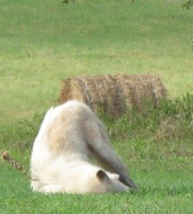 Arctic Wolf Scent Rolling