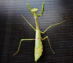 praying mantis 008 (640x551)