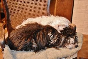 puppies window sleeping 005 (640x427)
