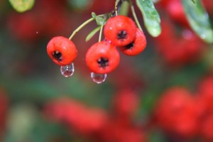 Raindrops on Berries