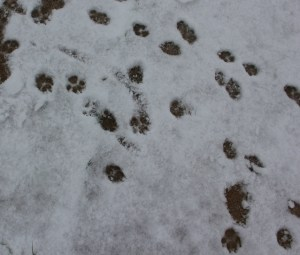 Havanese Footprints in the snow