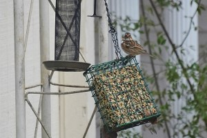 Sparrow caught me photographing him