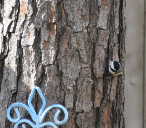 Chickadee on the Pine Tree