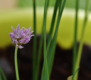 chives in the garden 022 (640x567)