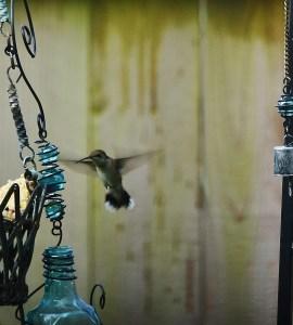 hummingbird 014 (3)