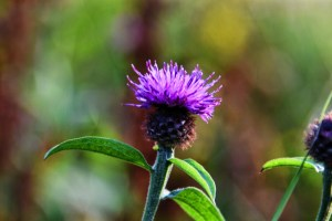 Scottish Thistle (2) (640x427)
