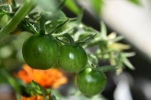 tomatoes and fairies and chives in the garden 001 (640x427)