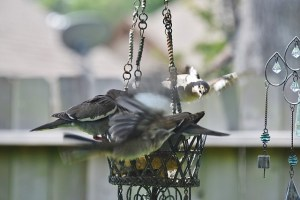 2 doves and mockingbrid flying on feeder (640x427)