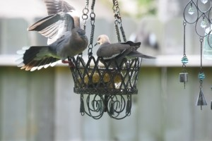 2 doves on feeder (640x427)
