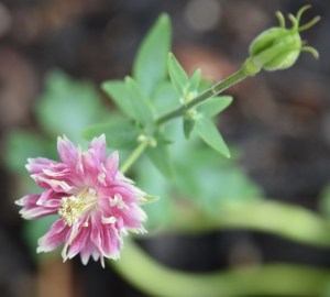 columbine roses with new growth 022 (640x576)