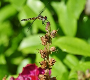 dragonfly 010 (640x570)