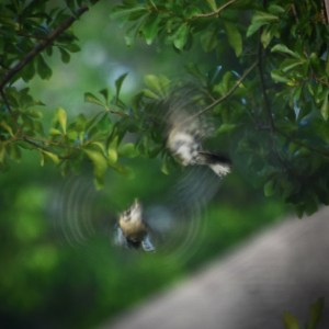 Hairy Woodpeckers in courting dance in flight 600
