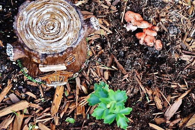 Pink fairy mushrooms 011 (640x427)