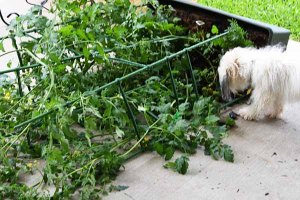 tomato plant knocked over in storm
