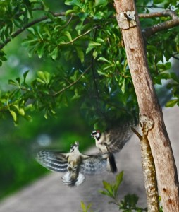 woodpeckers courting in flight 695