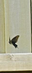 black butterfly 035