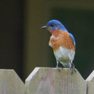 bluebird closeup