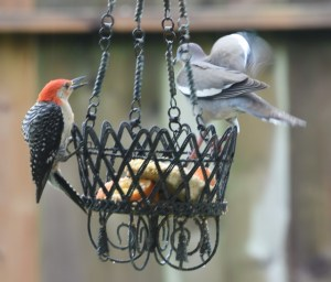 red-bellied woodbecker and dove at the feeder (640x546)