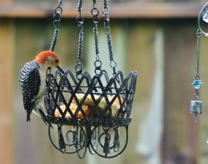 woodpecker coming over top to get suet (640x505)