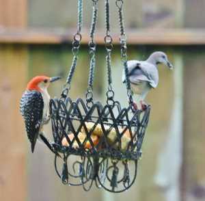 woodpecker with dove and suet in beak