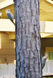 2 red-bellied woodpeckers 034 (540x800)