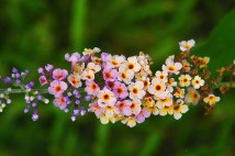 kaleidoscope butterfly bush 600x400