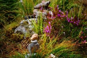 cairns purple heather (800x533)