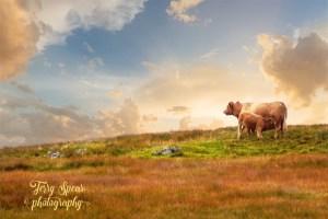 calf having supper Isle of Skye near Neist Point Lighthouse 800x400 flattened text