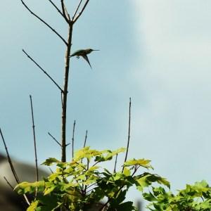 hummingbird in tree 002 (797x800)