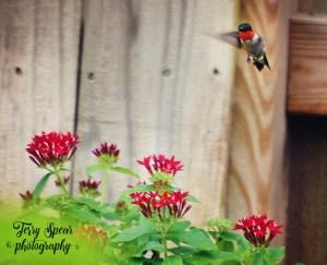 Ruby Throated hummingbird text 648x528