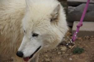 Sabine, Arctic Wolf (640x427)