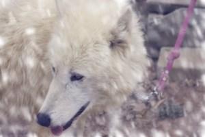 Sabine, Arctic Wolf snow warm (640x427)