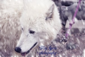 Sabine, Arctic Wolf snowstorm warm text(640x427)