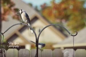 blue-jay-on-feeder-one-on-fence-900