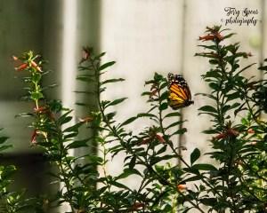 butterfly in flight 4000, 3f, dusk 003 900 bokeh