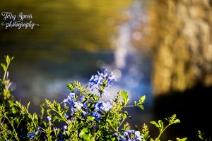 blue-flower-by-the-fountain-and-bokeh-900-157