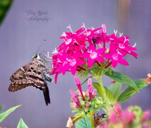 butterfly-brown-long-tailed-skipper-900-029