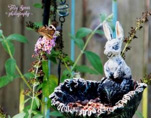 california-buckeye-brown-butterfly-and-bunny-feeder-900-070