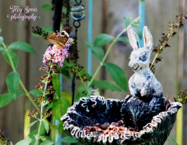 california-buckeye-brown-butterfly-and-bunny-feeder-900-070