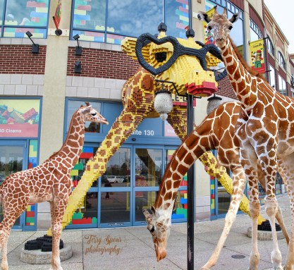 giraffe-legoland-and-giraffes-added-900