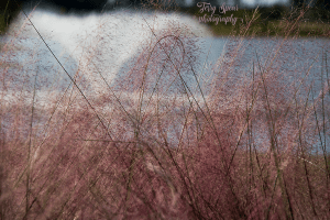 pink-fountain-grass-and-fountain-900-018