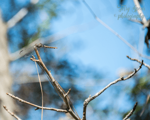 dragonfly-against-bokeh-blue-sky-900