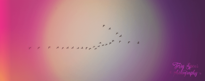 Flock of Geese Flying Overhead