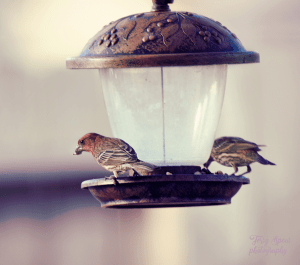 house-finch-900-big-lens-038