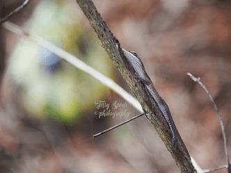 lizard-on-esperanza-branch-900