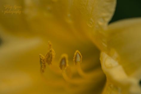 daffodils 900 051