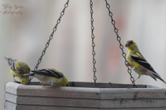 goldfinches on platform feeder 3 900 208