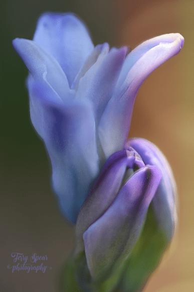 grape hyacinth 900 045